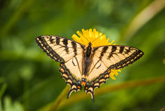 Swallowtail 2 imagens de stock royalty free