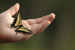 Swallowtail Photos libres de droits