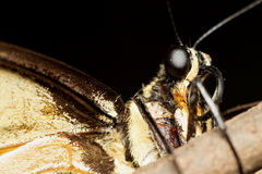 swallowtail Images stock