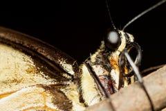 swallowtail Stockbilder