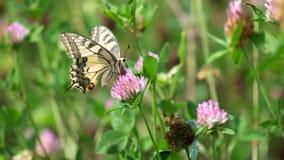 Swallowtail amarillo común maneja la flor del trébol metrajes