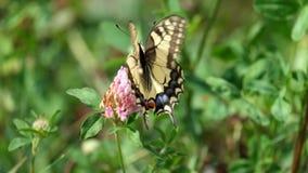 Swallowtail amarillo común maneja la flor del trébol almacen de video