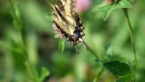 Swallowtail amarillo común maneja la flor del trébol almacen de metraje de vídeo