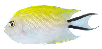 Swallowtail Angelfish. Genicanthus melanospilos Royalty Free Stock Photo