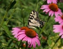 Swallowtail auf einer Kegel-Blume Stockbilder