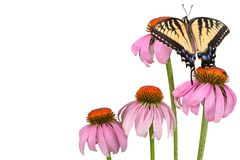 Swallowtail background. A tiger swallowtail butterfly is perched on a coneflower. This makes a nice butterfly background or border Stock Photo