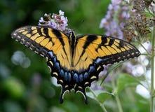 Swallowtail Basisrecheneinheit lizenzfreie stockfotos