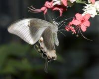Swallowtail Basisrecheneinheit Stockbild