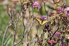 Swallowtail Basisrecheneinheit (Papilio machaon) Stockbild