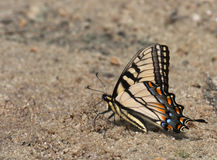 Swallowtail batterfly. Licking some water from a wet sand stock photography