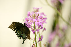 Swallowtail black and blue butterfly close up Royalty Free Stock Photography
