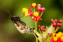 Swallowtail black and blue butterfly close up Royalty Free Stock Photos