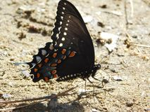 Swallowtail, black butterfly of America stock photo