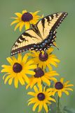 Swallowtail on black-eyed susan. A swallowtail butterfly landed on some black-eyed susan flowers Stock Photos
