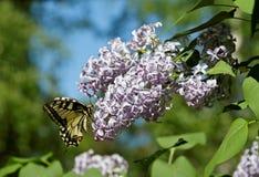 Swallowtail bonito em flores lilás imagem de stock royalty free