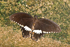Swallowtail on brown stone Royalty Free Stock Image