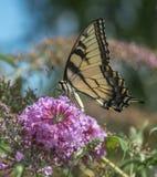 Swallowtail butterflies Stock Photography