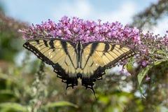 Swallowtail butterflies Royalty Free Stock Photos