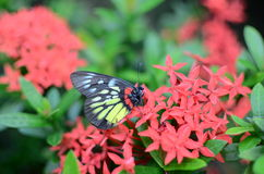 Swallowtail butterflies at Royalty Free Stock Images
