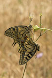 Swallowtail butterflies, Papilio machaon, hanging off flowerhead Royalty Free Stock Photography