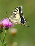 Swallowtail butterfly. (Papilio machaon) on flower Royalty Free Stock Photos