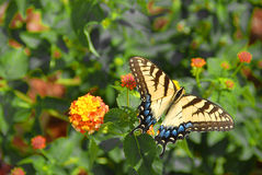 Swallowtail butterfly. A beautiful Swallowtail butterfly with open wings on flowers in the garden stock images