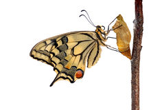 Swallowtail butterfly Stock Photography