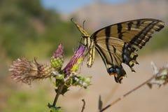 Swallowtail butterfly. A Swallowtail butterfly feeding on a purple flower Stock Photo
