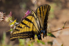 Swallowtail butterfly. A Swallowtail butterfly feeding on a purple flower Royalty Free Stock Photo