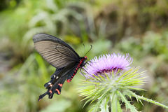 Swallowtail butterfly. A black and red swallowtail butterfly takes food Royalty Free Stock Photo