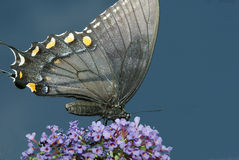 Swallowtail Butterfly. A Swallowtail butterfly rests on a flower Stock Image