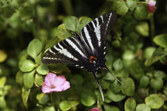 Swallowtail Butterfly. A beautiful Swallowtail Butterfly rests on the leaf Stock Images