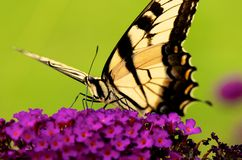 Swallowtail butterfly Stock Images