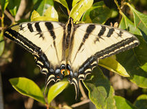 Swallowtail butterfly. Closeup of a Western Tiger Swallowtail butterfly with it's wings spread open stock images