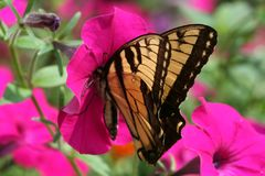 Swallowtail Butterfly. A Swallowtail Butterfly on a pink Petunia Stock Photography