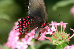 Swallowtail butterfly. A black ruby swallowtail butterfly on pink flowers royalty free stock image