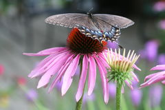 Swallowtail butterfly. On pink flower Stock Images