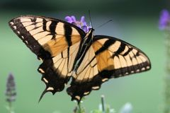 Swallowtail Butterfly. On Butterfly Bush Royalty Free Stock Photography