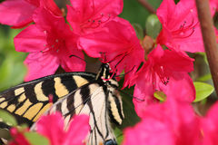 Swallowtail Butterfly. On Butterfly Bush Royalty Free Stock Photo