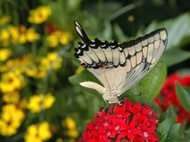 Swallowtail Butterfly. On a red penta Stock Images