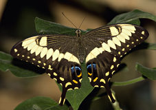Swallowtail Butterfly. Large Swallowtail Butterfly,  Range, south Canada to Colombia Royalty Free Stock Photography