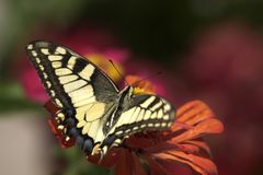 Swallowtail Butterfly. A Harvesting Swallowtail Butterfly stock photo