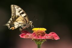 Swallowtail Butterfly. A Harvesting Swallowtail Butterfly royalty free stock images