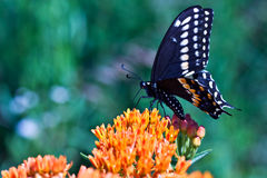 Swallowtail butterfly. Feeding on Butterfly Weed with extreme shallow DOF stock image