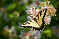 Swallowtail Butterfly on Abelia Royalty Free Stock Photo