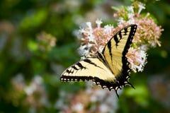 Swallowtail Butterfly on Abelia royalty free stock photo