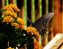 Swallowtail Butterfly. A Swallowtail butterfly alights on home garden flowers for a rest in the summer heat Royalty Free Stock Photography
