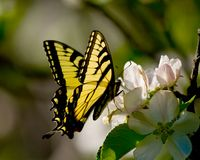 Swallowtail butterfly on apple blossom Royalty Free Stock Image
