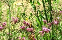 Swallowtail butterfly on a background of wildflowers royalty free stock image