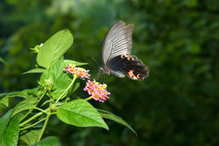 Swallowtail butterfly. The beautiful swallowtail butterfly is eating nectar. Scientific name: Papilio protenor royalty free stock photos